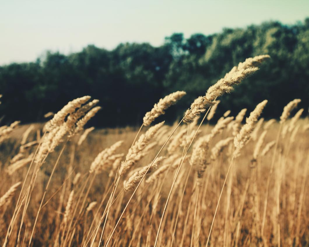 grass-plant-field-wheat-grain-prairie-98987-pxhere.com_.jpg